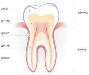 Основные функции зубов человека